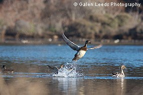 Northern Pintails on Giacomini Wetland waters. © Galen Leeds Photography