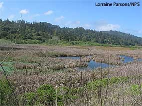 Olema Marsh, located just south of Giacomini Ranch and owned by the Park Service and Audubon Canyon Ranch.