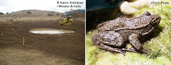 Giacomini Wetland Restoration Project: Construction of an Olema Creek Marsh Pond east of Olema Marsh (left) and a California red-legged frog (right)