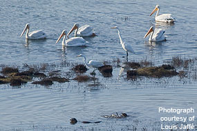 Pelicans, egrets, and otters forage together in the northern portion of the East Pasture near Point Reyes Station in August 2009. Photograph courtesy of Louis Jaffé.