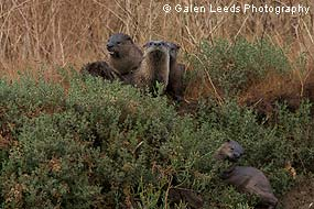 River Otters. © Galen Leeds Photography