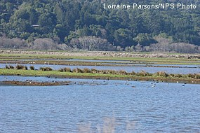Ducks in Shallow Shorebird Area prior to restoration.