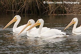 Four White Pelicans © Galen Leeds Photography