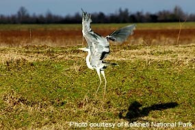 A Grey Heron (Ardea cinerea) taking flight in Kolkheti National Park