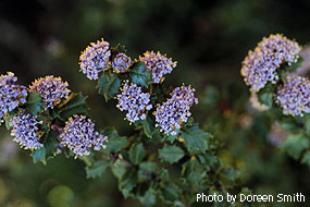 Mason's Ceanothus by Doreen Smith