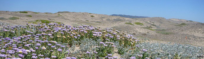 Native dune vegetation with Seaside daisy prominent.