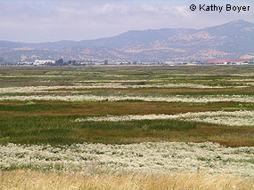 Perennial pepperweed blanketing portions of marsh in San Francisco Bay area. © Kathy Boyer
