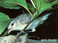 Birds, such as the Warbling Vireo, fared well in nesting success after the fire.