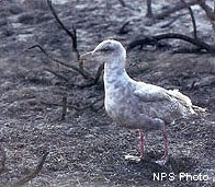 Western gull after the 1995 Vision Fire