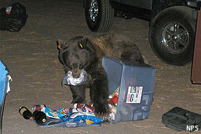 Black bear raiding Yosemite campsite. Please be sure to properly store food and scented items.