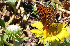 Myrtle's Silverspot butterfly perched on yellow Grindelia flower.