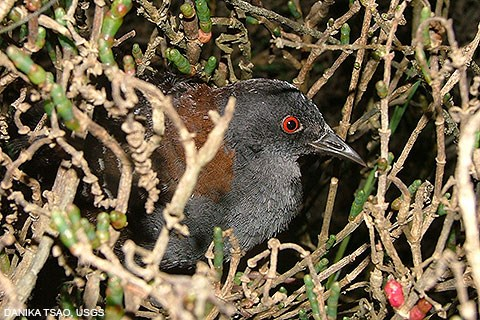 A small black bird with red eyes and brown shoulders huddled among marsh plants.