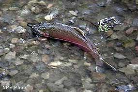 Male coho salmon (Oncorhynchus kisutch)