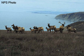 Elk Herd at Tomales Point