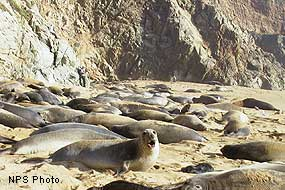 Main elephant seal colony