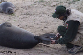 Biologist attaching a tag to the hind flippers of an elephant seal.