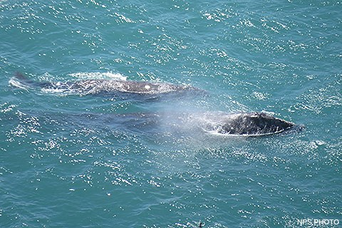 A gray whale and her calf come to the surface of the ocean and exhale.