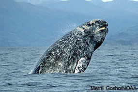 Dorsal view of a gray whale breaching. Photo by Merrill Gosho/NOAA.