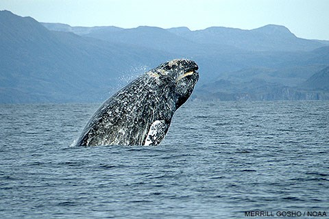 Dorsal view of a gray whale breaching with green hills in the background.