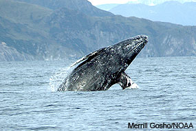 Ventral view of a gray whale breaching. Photo by Merrill Gosho/NOAA.