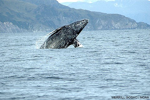 Ventral view of a gray whale breaching and angled to the right with rugged hills and cliffs in the background. Photo by Merrill Gosho/NOAA.