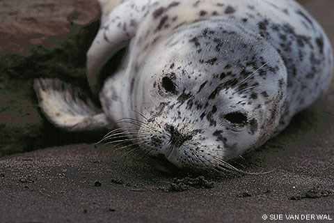 A close-up photo of the head of a harbor seal pup, which is lying on sand. The pup's fur is largely silver in color, with irregularly placed black dots.