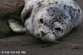 Harbor seal pup lying on the beach. © Sue Van Der Wal