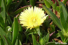Ice Plant (Carpobrotus edulis) is an extremely invasive species from South Africa.