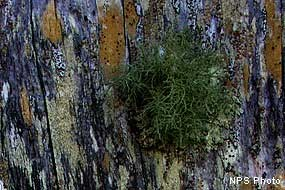 Healthy lichen anchored on wooden fencing