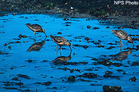 Longbilled Dowitchers foraging for food in mudflat.