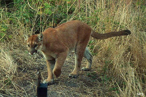 A large tawny cat with a long tail walks on a path bordered by grass and shrubs.