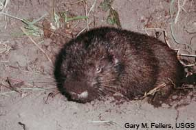 Young mountain beaver looking out of burrow.