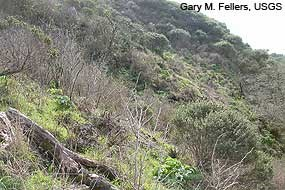 Typical mountain beaver habitat of coastal scrub at Point Reyes.