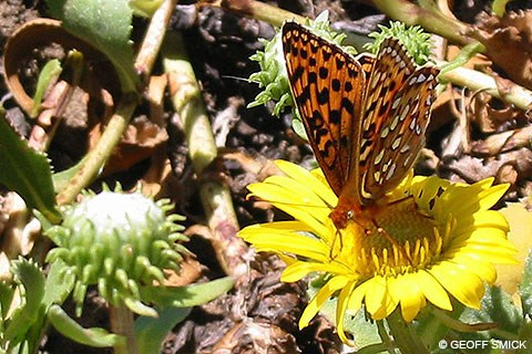 An orange-colored butterfly with numerous black and silver spots on a yellow flower.