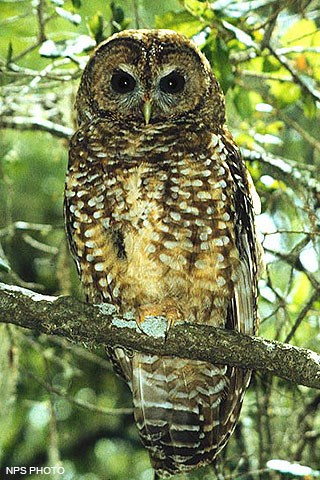 A brown owl with white spots perched on a branch.