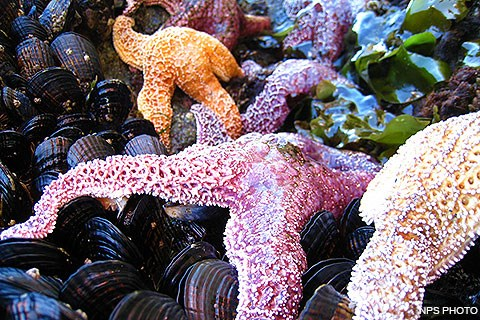 Purple, orange, and pink sea stars on top of black mussel shells.