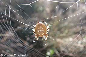 Large orb weaver spider in center of web.