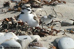 Snowy Plover adult and chick on the beach.