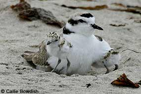 Snowy Plover and two chicks sitting on the beach.