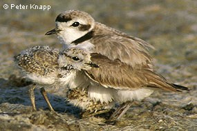 Male western snowy plover and chicks. © Peter Knapp.
