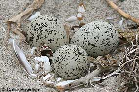 Snowy Plover nest with three eggs.