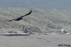 Raven flying low over the beach.