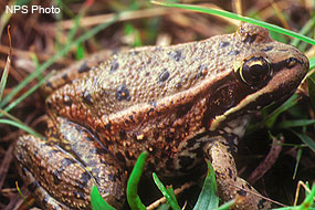 California red-legged frog.