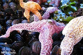 Ochre sea stars (Pisaster ochraceus) and California mussels (Mytilus californianus).