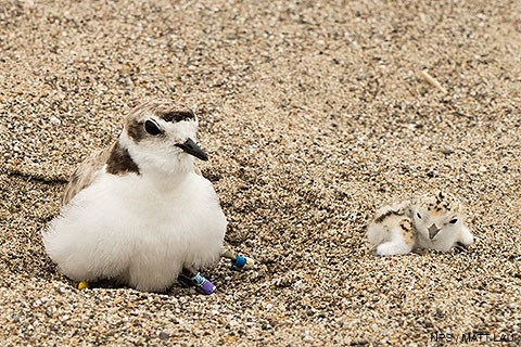 A female snowy plover on the left with a snowy plover chick on the right.