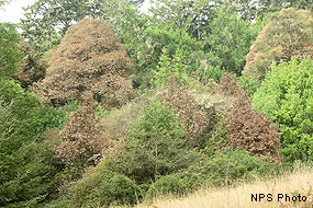 Tan Oaks affected by Sudden Oak Death