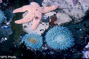 Sea star and anemones in the intertidal zone.
