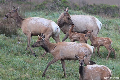 Three female elk with two spotted elk calves and a male with stubby antlers.