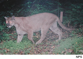 Mountain Lion (Puma concolor). Photo taken by a Wildlife Monitoring Camera.
