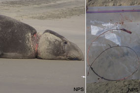 (L) Elephant seal with strap around his neck resulting in large wound & (R) packing strap in plastic bag after removal.